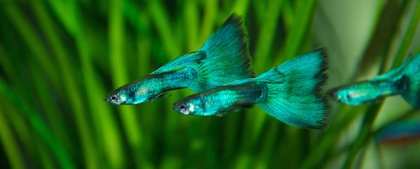 Green Guppy Male Trio